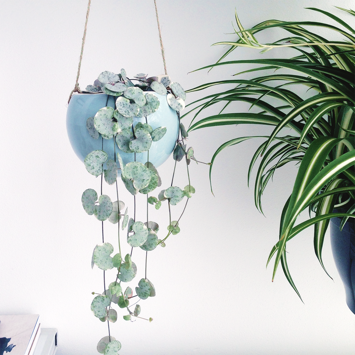 Hanging planters. Chain of Hearts plant